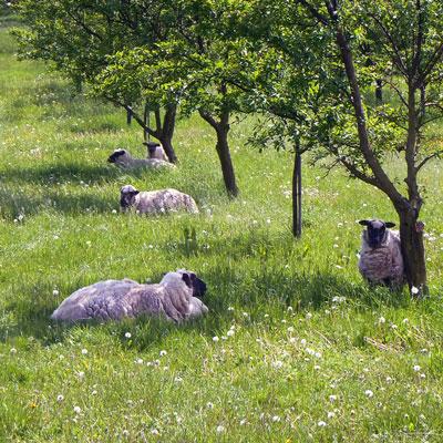 LOR_moutons-dans-verger-3WEB