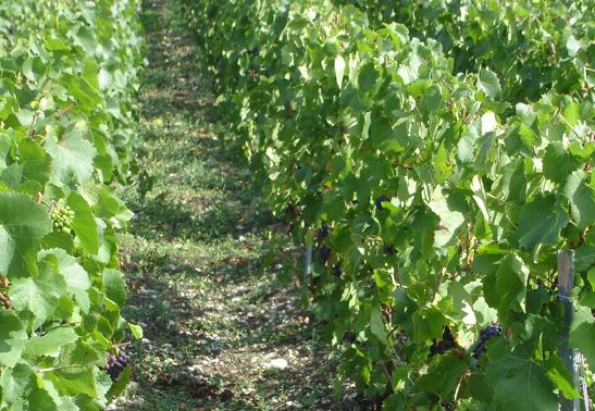 Les alternatives au cuivre en viticulture biologique