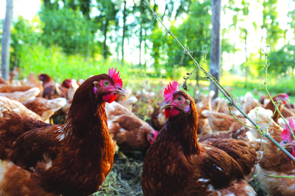 Formation : Gestion de l'alimentation fermière en élevage de volailles bio