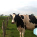Formation : Prendre soin des pieds de mes vaches au quotidien