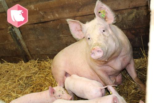 Formation : «Physiologie, comportement des porcs, et pharmacie d'urgence en médecine alternative, les clefs pour un élevage biologique en pleine santé.»