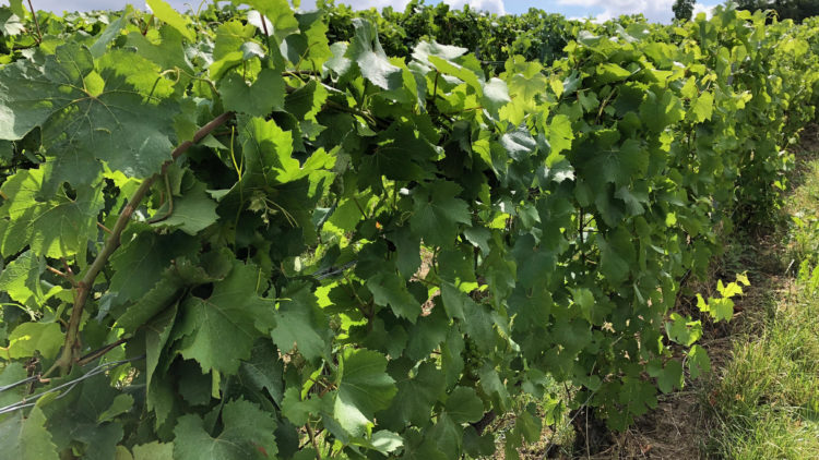 Convertir son domaine à la viticulture biologique