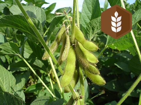 Produire des Protéines Végétales en Agriculture Biologique : Pourquoi? Comment?
