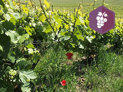 Perfectionnement à la viticulture biodynamique