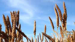 Développement des variétés paysannes en Champagne-Ardenne : une enquête auprès des consommateurs